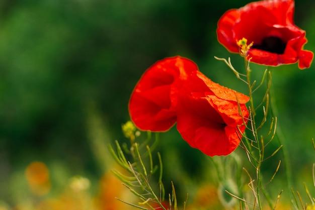 Bellissimi fiori di papaveri rossi su uno sfondo di campo verde