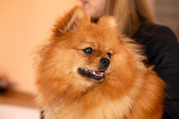 Bello primo piano pomeranian lanuginoso. animali domestici. cura e mantenimento di cani e cuccioli. amicizia e comprensione reciproca. cura dei capelli.