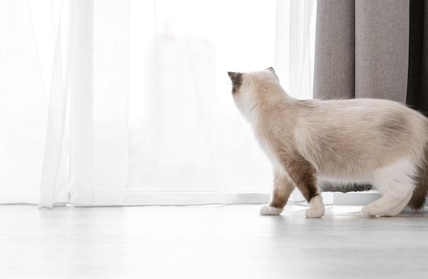 Bellissimo gatto ragdoll soffice in piedi sul pavimento e guardando fuori dalla finestra attraverso le tende. adorabile animale domestico felino a casa in una giornata di sole