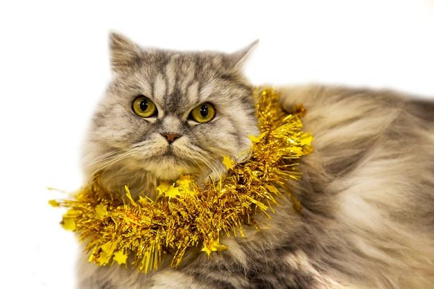 Un bellissimo gatto scozzese soffice giace con una decorazione natalizia dorata su uno sfondo bianco. capodanno con un animale domestico