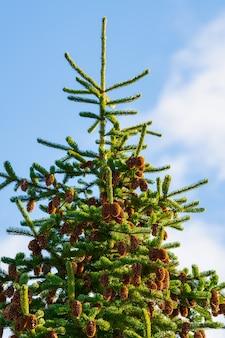 Bellissimo albero di abete lanuginoso con molte pigne marroni contro il cielo blu con tempo soleggiato.