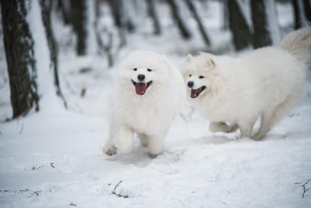 Bellissimi due cani bianchi samoiedo birichino sta giocando nella foresta invernale