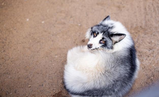Volpe bianca bella e soffice allo zoo. un animale selvatico in un rifugio per animali.