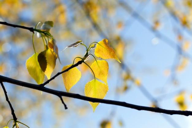 Bel fogliame dell'albero nella stagione primaverile, le foglie hanno sfumature rosse e gialle come in autunno, caratteristiche primaverili della fioritura di vari alberi.