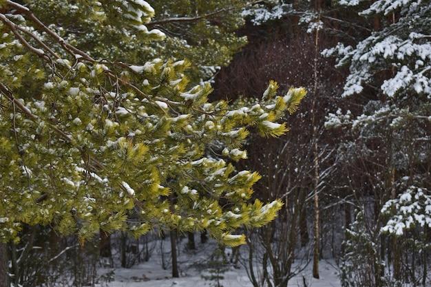 Bella foresta nella neve in inverno
