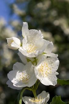 Bellissimi fiori di gelsomino freschi in primavera fiori di gelsomino profumati bianchi ricoperti di gocce d'acqua dopo il passato piogge cespuglio di gelsomino in primo piano della natura