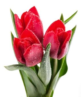 Bellissimo tulipano rosso fresco per il tuo design
