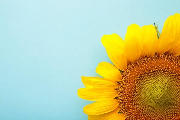 Bellissimo girasole fresco su sfondo blu. lay piatto, vista dall'alto, copia spazio. autunno o estate concetto, tempo di raccolta, agricoltura. sfondo naturale di girasole.