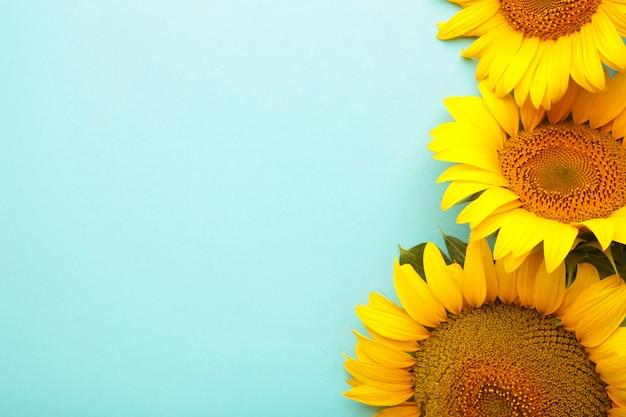 Bellissimi girasoli freschi su sfondo blu. lay piatto, vista dall'alto, copia spazio. autunno o estate concetto, tempo di raccolta, agricoltura. sfondo naturale di girasole.