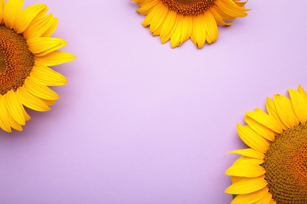 Bellissimi girasoli freschi su sfondo viola. lay piatto, vista dall'alto, copia spazio. autunno o estate concetto, tempo di raccolta, agricoltura. sfondo naturale di girasole.