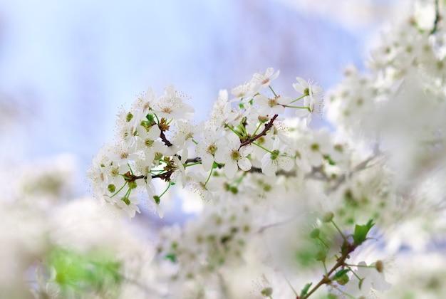 Bellissimo fiore di frutta all'aperto. fiore dell'albero di albicocca, sfondo di natura floreale stagionale