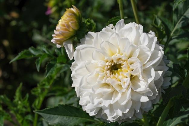 Bellissimo giardino fiore dalia close-up su una soleggiata giornata autunnale fotografia macro