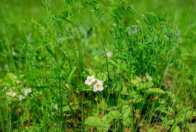 Bellissimi fiori da giardino su uno sfondo di erba verde.