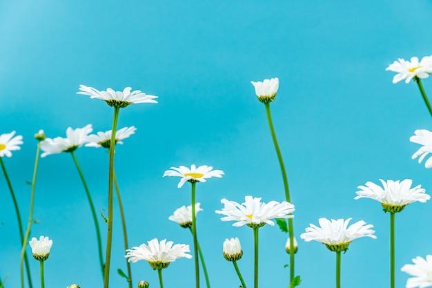 Bei fiori della margherita del gerden su priorità bassa blu.