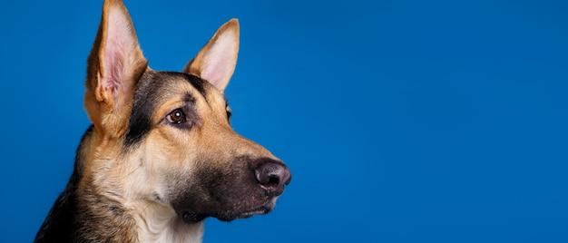 Bellissimo cane da pastore tedesco su sfondo blu. colpo dello studio. colore grigio e marrone.