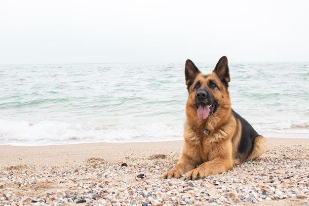 Bellissimo cane da pastore tedesco si trova sulla sabbia in spiaggia animale di razza. animale domestico. faccina felice con la lingua fuori. migliore amico e guardia umana.