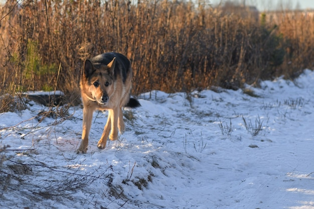 Bellissimo cane pastore tedesco che corre sulla strada innevata per attaccare