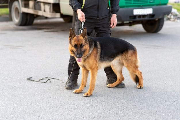 Bellissimo pastore tedesco per una passeggiata. foto di alta qualità