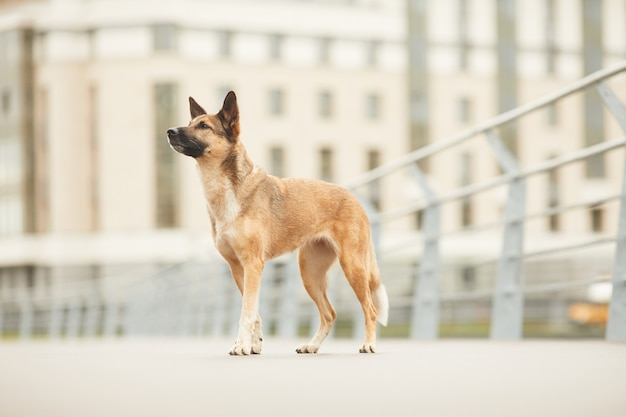 Bellissimo pastore tedesco che cammina nella città all'aperto
