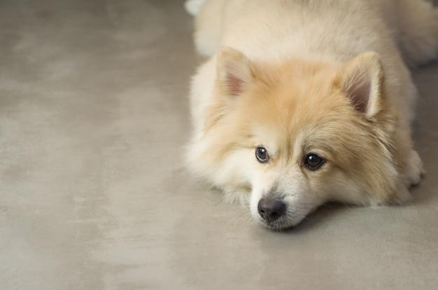 Bellissimo cane spitz tedesco di colore giallo chiaro