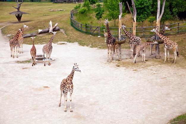 Belle giraffe in uno zoo naturale