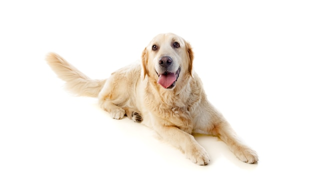 Bellissimo cane golden retriever