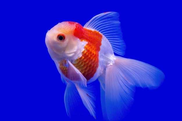 Dettagli bellissimi pesci rossi isolati