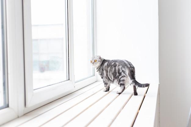 Il bellissimo gatto scozzese grigio dalle orecchie cadenti cammina con cautela intorno a un nuovo davanzale bianco mentre studia