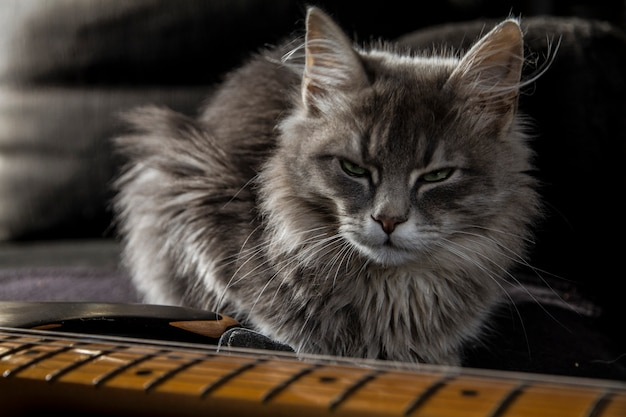 Un bellissimo gatto persiano grigio con uno sguardo minaccioso custodisce la chitarra elettrica del papà