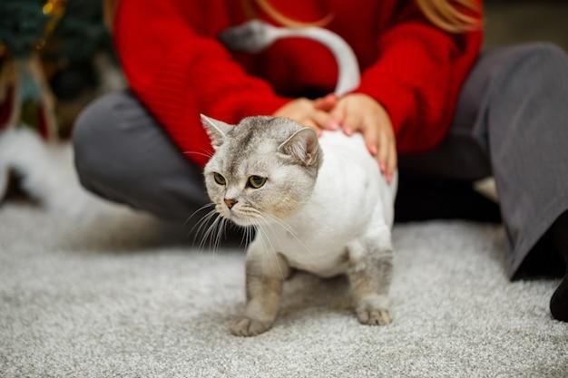 Bellissimo gatto scozzese grigio. gatto di taglio di capelli con peli rasati sul corpo, taglio di capelli da compagnia