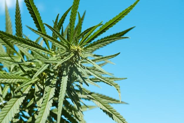 Bella foglia di cannabis verde contro il cielo blu