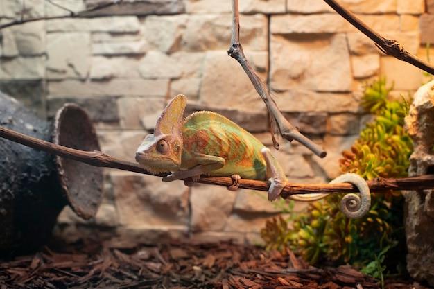 Bellissimo camaleonte verde si siede su un ramo contro un muro di kerp.
