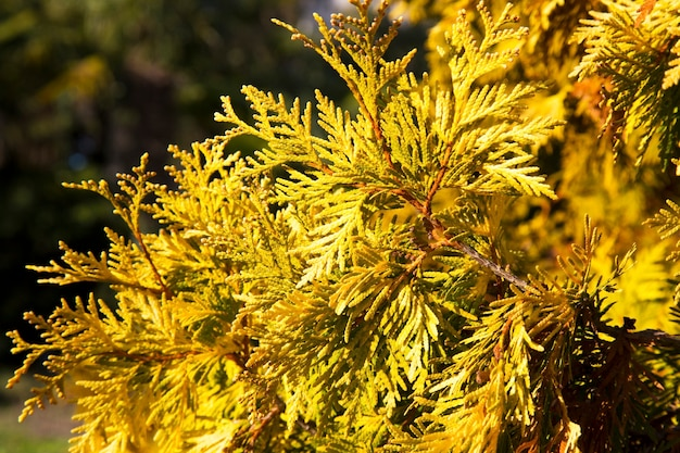Belle foglie verdi di natale degli alberi di thuja con luce solare morbida. il ramoscello di thuja, thuja occidentalis è una conifera sempreverde. tuia d'oro