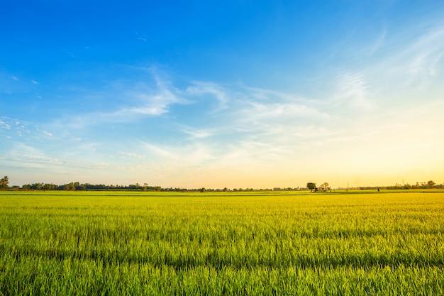 Bello campo di mais verde con il fondo del cielo di tramonto.