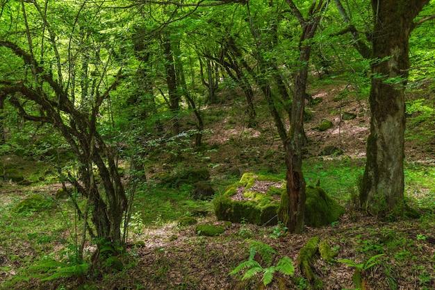 Bellissimo scenario di foresta decidua verde
