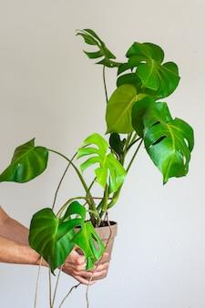 Bello fiore di monstera dell'interno verde in una pentola in mani maschii su un fondo bianco del muro di cemento