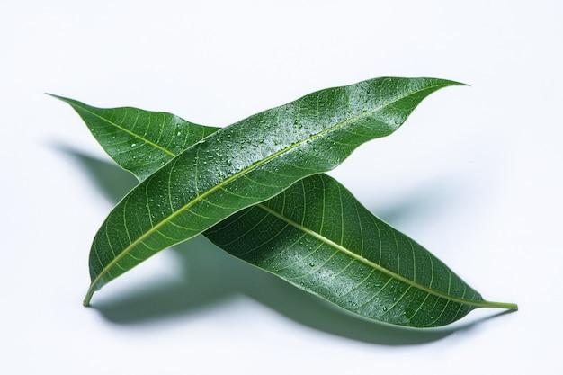 Belle foglie di mango verde