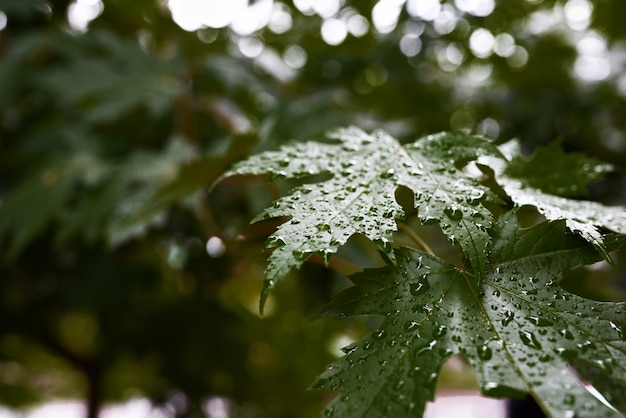 Belle foglie d'acero verde con gocce di ross.