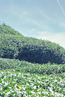 Bella scena di righe del giardino del raccolto del tè verde con cielo blu e nuvola, concetto di design per lo sfondo del prodotto del tè fresco, spazio della copia.