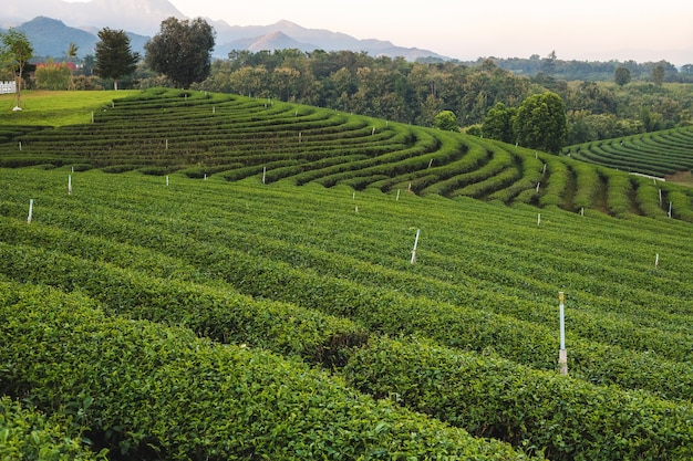 Bella piantagione di tè verde al mattino presso la piantagione di tè chouifong, provincia di chiang rai, thailandia.