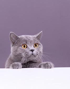 Bello gatto britannico grigio che dà una occhiata fuori da dietro una tavola bianca