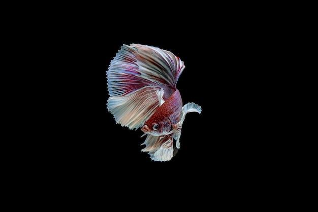 Bella mezza luna bianca e rossa betta splendens, pesce combattente siamese o pla-kad in pesci popolari tailandesi in acquario.