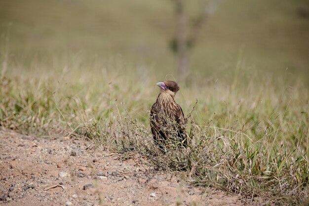 Bellissimo falco in campo con colori incredibili che volano nel cielo