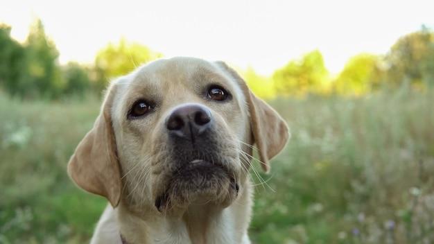 Bellissimo cane sano che riposa e sdraiato sul prato fuori città in una calda giornata estiva, primo piano