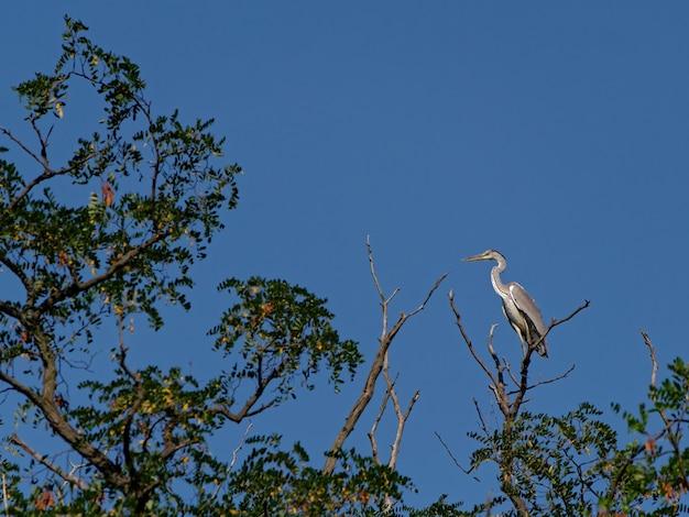 Bellissimo airone appollaiato sull'albero sotto un cielo blu