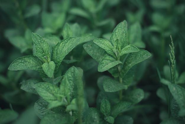 Belle foglie di menta sfondo verde scuro astratto orizzontale