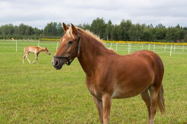 Un bel cavallo cammina nel prato. ritratto di cavallo, cavallo marrone. azienda agricola.