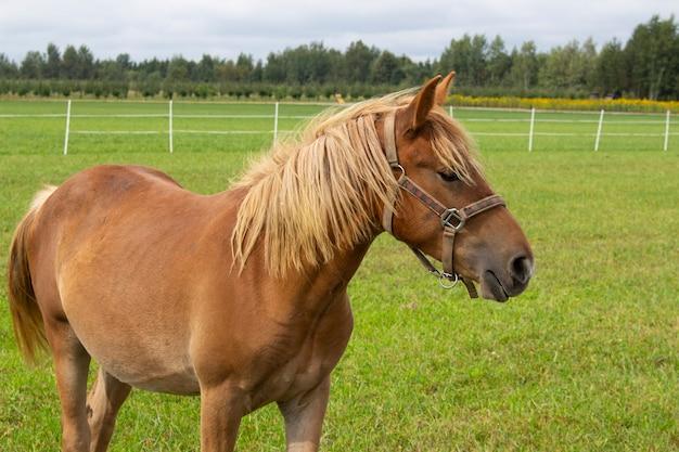 Un bel cavallo cammina nel prato. ritratto di cavallo, cavallo marrone.
