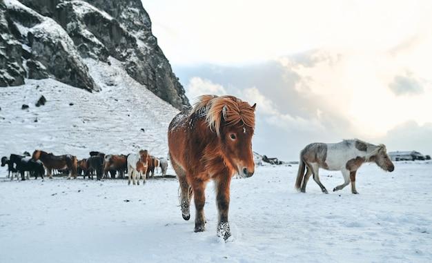 Bellissimi cavalli al pascolo su pascoli innevati vicino alle montagne.