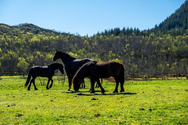 Bellissimi cavalli al pascolo mangiano erba sul campo in estate con tempo piovoso